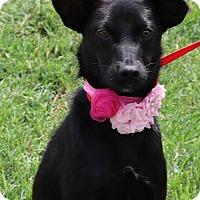 Adopt A Pet :: Applesauce - Lacey, WA