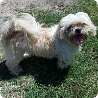 Adopt A Pet :: Biscuit Boy - Sarasota, FL