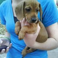Dachshund Mix Dog for adoption in Wichita, Kansas - paulie paco/hershey