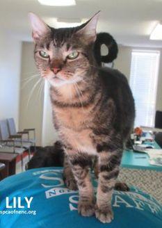 Domestic Shorthair/Domestic Shorthair Mix Cat for adoption in Elizabeth City, North Carolina - Lily
