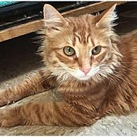 Adopt A Pet :: Viktor - Milford, MA