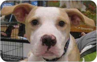 Boxer/American Pit Bull Terrier Mix Dog for adoption in Lafayette, Indiana - Sophie