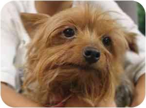 Yorkie, Yorkshire Terrier Dog for adoption in McDonough, Georgia - Roxy