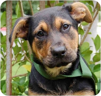 German Shepherd Dog Mix Puppy for adoption in Los Angeles, California - Lisa von Williams