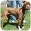 Photo 1 - Pit Bull Terrier Mix Dog for adoption in North Judson, Indiana - Charley