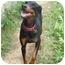 Photo 1 - Doberman Pinscher Dog for adoption in New Richmond, Ohio - Pixie--adopted!!