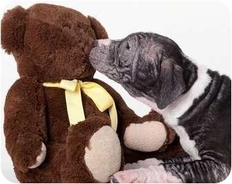 American Pit Bull Terrier/American Pit Bull Terrier Mix Puppy for adoption in Chicago, Illinois - Vera