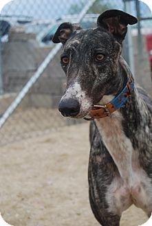 Greyhound Dog for adoption in Tucson, Arizona - Rielle