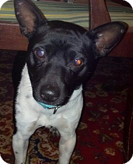 Jack Russell Terrier/Fox Terrier (Smooth) Mix Dog for adoption in Wallingford Area, Connecticut - Conoli