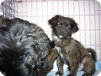 Terrier (Unknown Type, Small) Mix Puppy for adoption in Brooklyn, New York - MONSOOR