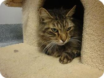 Domestic Mediumhair Cat for adoption in Gainesville, Florida - Domino