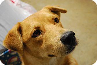 Labrador Retriever Mix Dog for adoption in Boonsboro, Maryland - Lucky