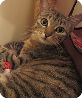Domestic Shorthair Cat for adoption in Port Republic, Maryland - Rosemary