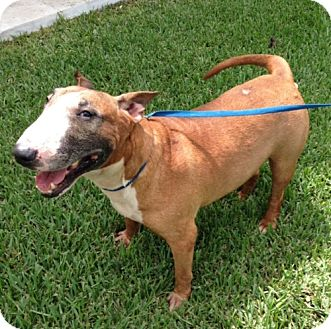 Bull Terrier Dog for adoption in Homestead, Florida - Bubba-Courtesy