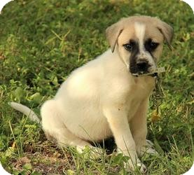 Great Pyrenees Mix Puppy for adoption in Plainfield, Connecticut - Sadie
