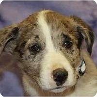 Adopt A Pet :: Juniper - Broomfield, CO