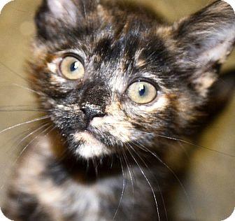 Domestic Shorthair Kitten for adoption in Xenia, Ohio - Allie