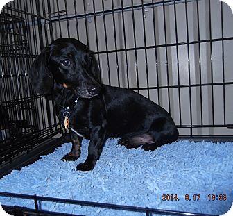 Dachshund Dog for adoption in Lubbock, Texas - Martin
