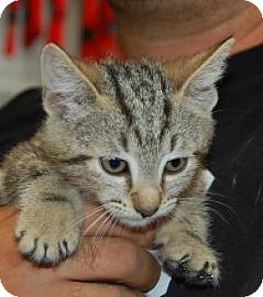 Domestic Shorthair Cat for adoption in Brooklyn, New York - Chester
