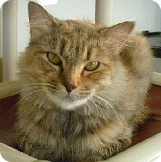 Domestic Mediumhair Cat for adoption in Hamburg, New York - Tigress