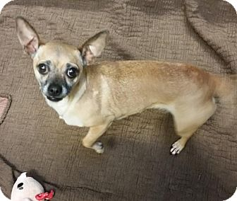Chihuahua Mix Dog for adoption in Bellingham, Washington - Esme