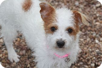 Terrier (Unknown Type, Small)/Jack Russell Terrier Mix Dog for adoption in Norwalk, Connecticut - Pumpkin-found by a firefighter