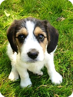 Beagle/Terrier (Unknown Type, Medium) Mix Puppy for adoption in Beachwood, Ohio - Dumbledore