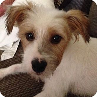 Terrier (Unknown Type, Small) Mix Dog for adoption in Mission Viejo, California - CONNER