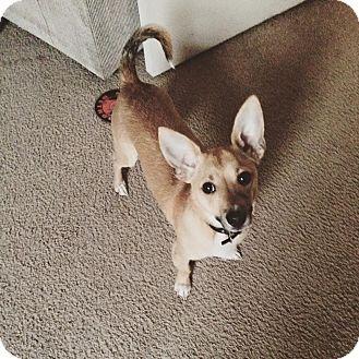 Pomeranian/Chihuahua Mix Puppy for adoption in Berea, Kentucky - Tito