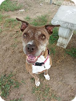 American Pit Bull Terrier Mix Dog for adoption in Colonial Heights, Virginia - Cama