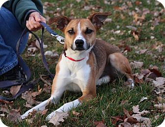 Whippet/Collie Mix Dog for adoption in Elyria, Ohio - Remy