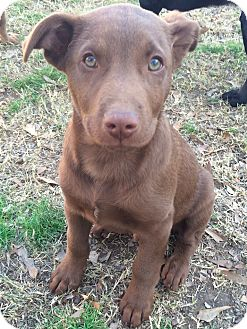 Labrador Retriever Mix Puppy for adoption in East Hartford, Connecticut - Jacob Adoption pending