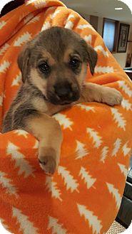 German Shepherd Dog/Labrador Retriever Mix Puppy for adoption in Orland Park, Illinois - M2 - Male Shep