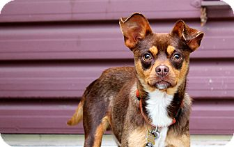 Pug/Chihuahua Mix Dog for adoption in Los Angeles, California - Javier