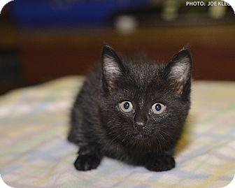 Domestic Shorthair Kitten for adoption in Medina, Ohio - Elizabeth