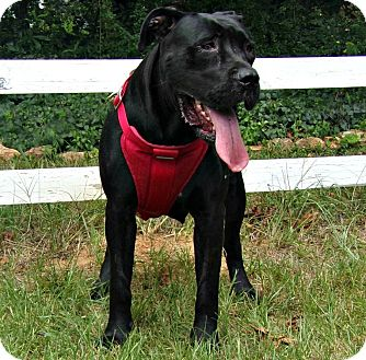 Cane Corso Dog for adoption in Norwood, Georgia - Bebee