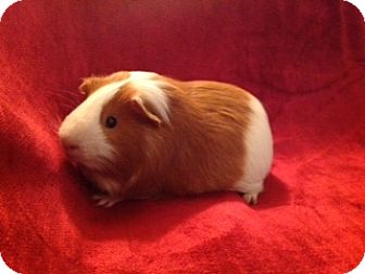 Guinea Pig for adoption in Williston, Florida - Yoda