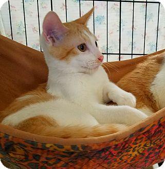 Domestic Shorthair Kitten for adoption in Fallbrook, California - Roy
