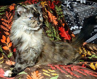 Domestic Longhair Cat for adoption in O'Fallon, Missouri - Paprika