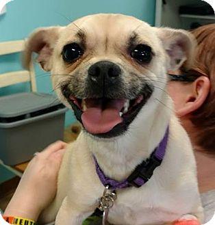Pug/Rat Terrier Mix Dog for adoption in Brookings, South Dakota - Sophie
