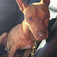 Adopt A Pet :: Rebel - New Roads, LA