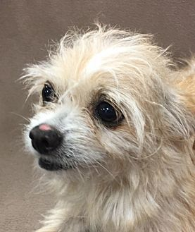 Chihuahua/Cairn Terrier Mix Dog for adoption in Garland, Texas - Cathy