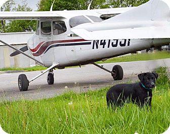 Labrador Retriever/Blue Heeler Mix Puppy for adoption in Forest Hill, Maryland - Seneca