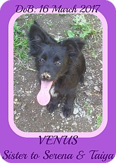 Schipperke/Papillon Mix Puppy for adoption in Mount Royal, Quebec - VENUS