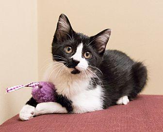 Manx Kitten for adoption in Chicago, Illinois - Kit Kat