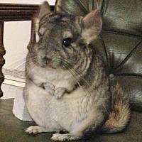 Adopt A Pet :: Ash - CT - Granby, CT