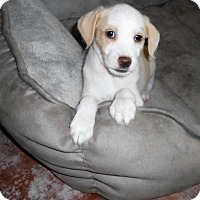 Adopt A Pet :: Coconut Cream Pie - Chandler, AZ