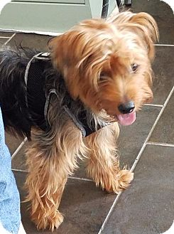 Silky Terrier Dog for adoption in Freeport, New York - Chip