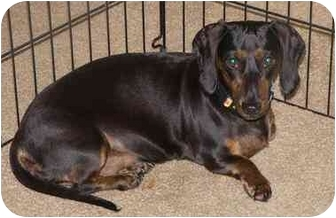 Dachshund Dog for adoption in All of New England, Connecticut - Lily