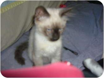 Siamese Kitten for adoption in Lake Charles, Louisiana - Thomas O'Malley